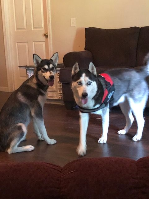 Two huskies shot to death, DPD investigating as a criminal case